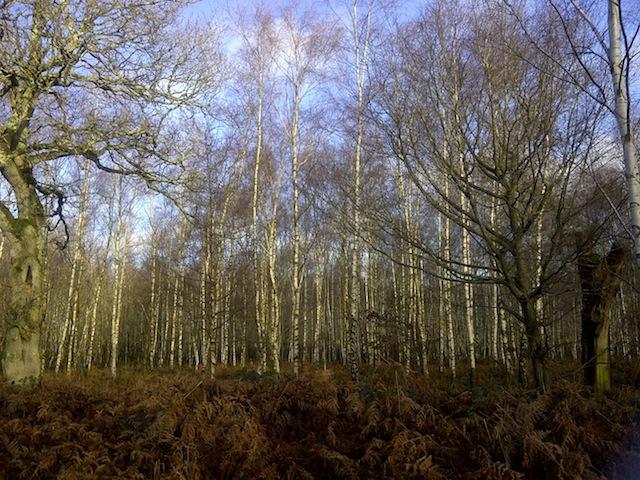 Birch-Woodland-